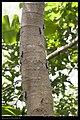 Macrobrochis gigas (caterpillar) (14318506402).jpg