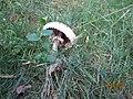 Macrolepiota procera 90120748.jpg