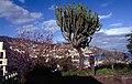 Madeira-36-Baumkaktee-2000-gje.jpg