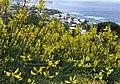 Maggio a Ischia 09.jpg