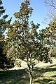 Magnolia grandiflora Little Gem 6zz.jpg