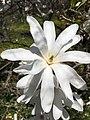 Magnolia salicifolia (Anise Magnolia, Willow-leaved Magnolia, Anise Leaf Magnolia) (42882219651).jpg