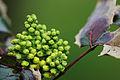 Mahonia aquifolium buds.jpg