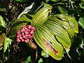 Maianthemum gigas Irazu 2.jpg