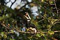 Malabar Pied Hornbill male.jpg