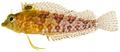 Malacoctenus boehlkei - pone.0010676.g147.png