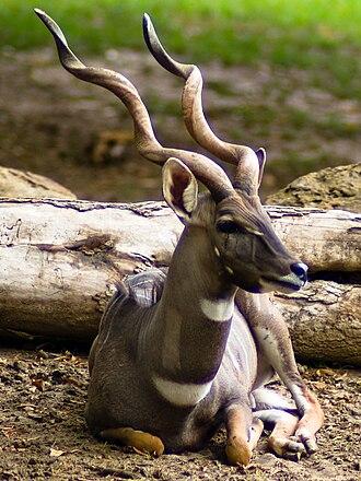 Lesser kudu - Male lesser kudu