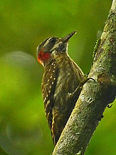 Male of Dendrocopos temminckii.JPG