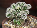 Mammillaria gracilis texensis cv. Arizona snow.JPG