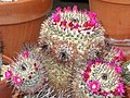 Mammillaria varieaculeata - University of California Botanical Garden - DSC08869.JPG