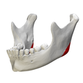 Mandibular angle - close-up - lateral view2.png