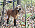 Maned Wolf 1, Beardsley Zoo, 2009-11-06.jpg