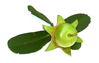 <i>Sonneratia caseolaris</i>