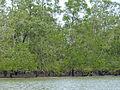 Mangroves (Sonneratia sp.) (15229266954).jpg