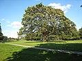 Manston Park tree 26 August 2017.jpg