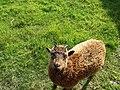 Manx loghtan lamb, Cregneash Isle of Man - geograph.org.uk - 442070.jpg