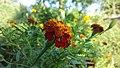 Marigoldflower.jpg