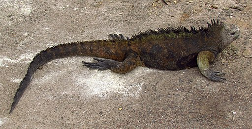 Marine Iguana (A. c. hassi), male, Santa Cruz Island