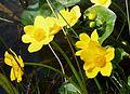 Marsh Marigold or Kingcup. Caltha palustris - Flickr - gailhampshire (1).jpg