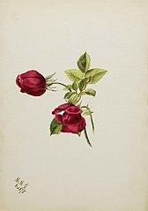 (Untitled--Rose)