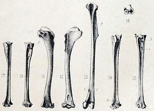 Mauritius owl - Sub-fossil remains