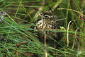 Meadow Pipit - Norway 02 (16378625744).jpg