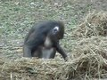 File:Meaningful-Gesture-in-Monkeys?-Investigating-whether-Mandrills-Create-Social-Culture-pone.0014610.s007.ogv