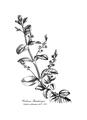 Medical Botany-1790-1-0053-7.png