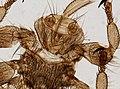 Melophagus ovinus (YPM IZ 093760).jpeg