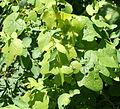Menispermum canadense 5057.jpg