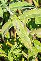 Mentha longifolia at Lac des Plagnes (2).jpg