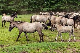 Merfeld, Merfelder Bruch, Dülmener Wildpferde -- 2021 -- 9344.jpg
