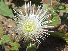 Mesembryanthemum crystallinum1