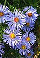 Michaelmas daisy (Aster lanceolatus x novi-belgii) - geograph.org.uk - 1522705.jpg