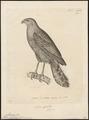 Micrastur ruficollis - 1700-1880 - Print - Iconographia Zoologica - Special Collections University of Amsterdam - UBA01 IZ18300061.tif