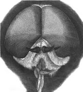 Horse-fly - Wikipedia