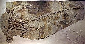 Maniraptora - Microraptor specimen with feather impressions