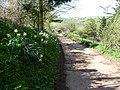 Mid Devon , Daffodils and Farm Track - geograph.org.uk - 1253539.jpg