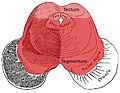 Midbrain-axial-showing-tectum-and-tegmentum.jpg