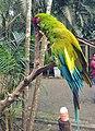 Military macaw (3) (26030075957).jpg