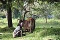 Milking a bovine.jpg
