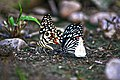 Mime, lime and Green-veined White butterfly.jpg