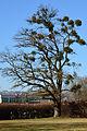 Mistelbaum Marburg 3.jpg