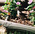 Mockingbird Feeding Chick009.jpg