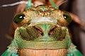 Molting cicada (2294199846).jpg