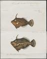 Monacanthus tomentosus - 1700-1880 - Print - Iconographia Zoologica - Special Collections University of Amsterdam - UBA01 IZ15400145.tif