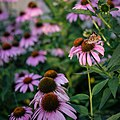 Monarch Butterfly in Coneflowers, Minneapolis (35826678260).jpg