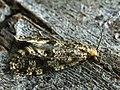 Montescardia tessulatella (40349937765).jpg