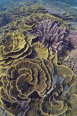 Montipora coral, Arthur Bay, Magnetic Island, January 2016.jpg