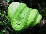 Morelia-viridis edit1.jpg
